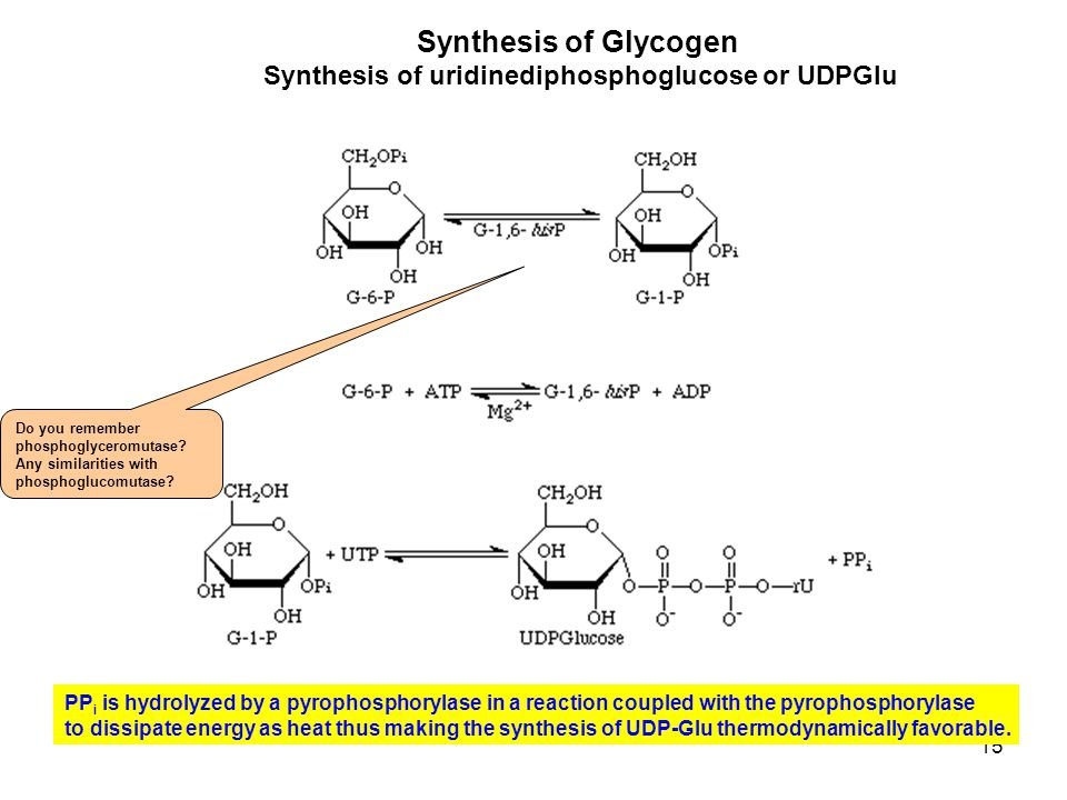 15 Synthesis of Glycogen Synthesis of uridinediphosphoglucose or UDPGlu PP i is hydrolyzed by a pyrophosphorylase in a reaction coupled with the pyrop