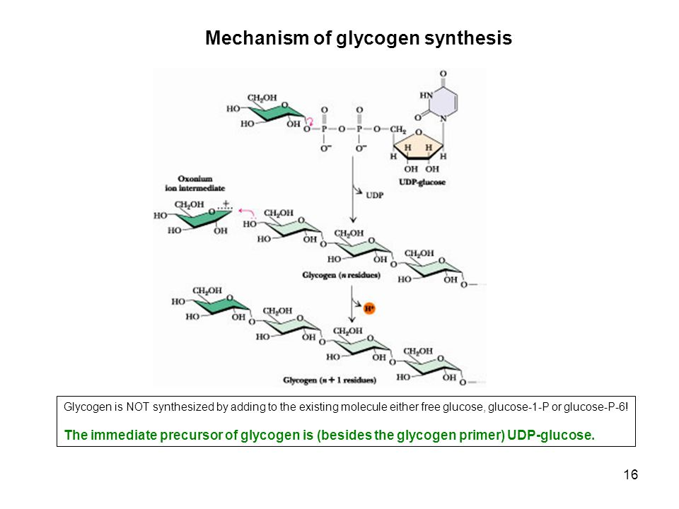16 Mechanism of glycogen synthesis Glycogen is NOT synthesized by adding to the existing molecule either free glucose, glucose-1-P or glucose-P-6! The