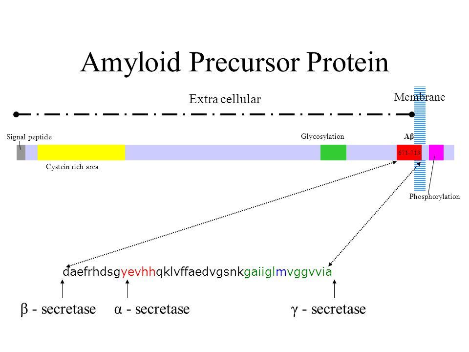 Amyloid Precursor Protein Signal peptide Cystein rich area GlycosylationAβAβ 671-713 Phosphorylation Membrane Extra cellular daefrhdsgyevhhqklvffaedvgsnkgaiiglmvggvvia β - secretaseα - secretaseγ - secretase