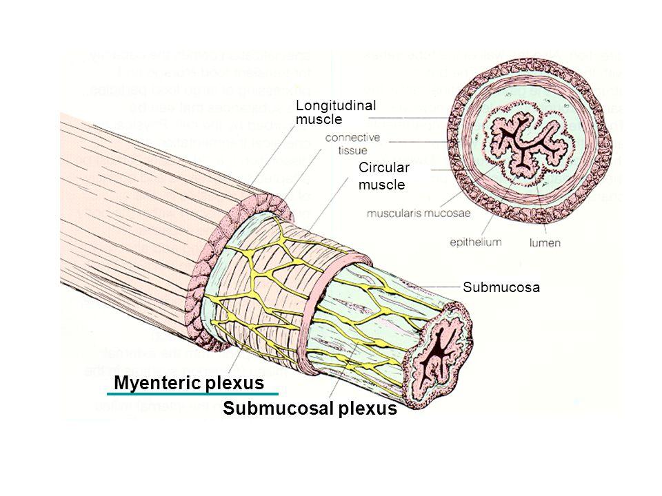 Myenteric plexus Longitudinal muscle Circular muscle Submucosa Submucosal plexus