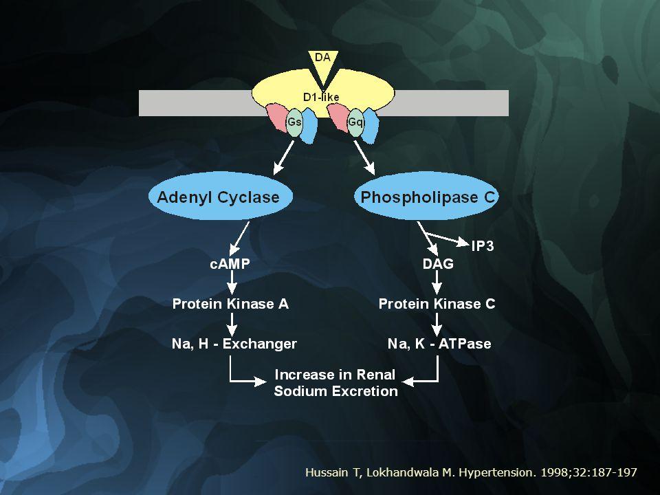 Hussain T, Lokhandwala M. Hypertension. 1998;32:187-197