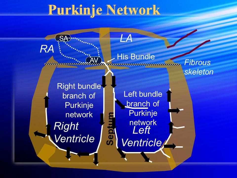 RA LA Fibrous skeleton Right Ventricle Left Ventricle SA AV His Bundle Septum Purkinje Network Left bundle branch of Purkinje network Right bundle branch of Purkinje network