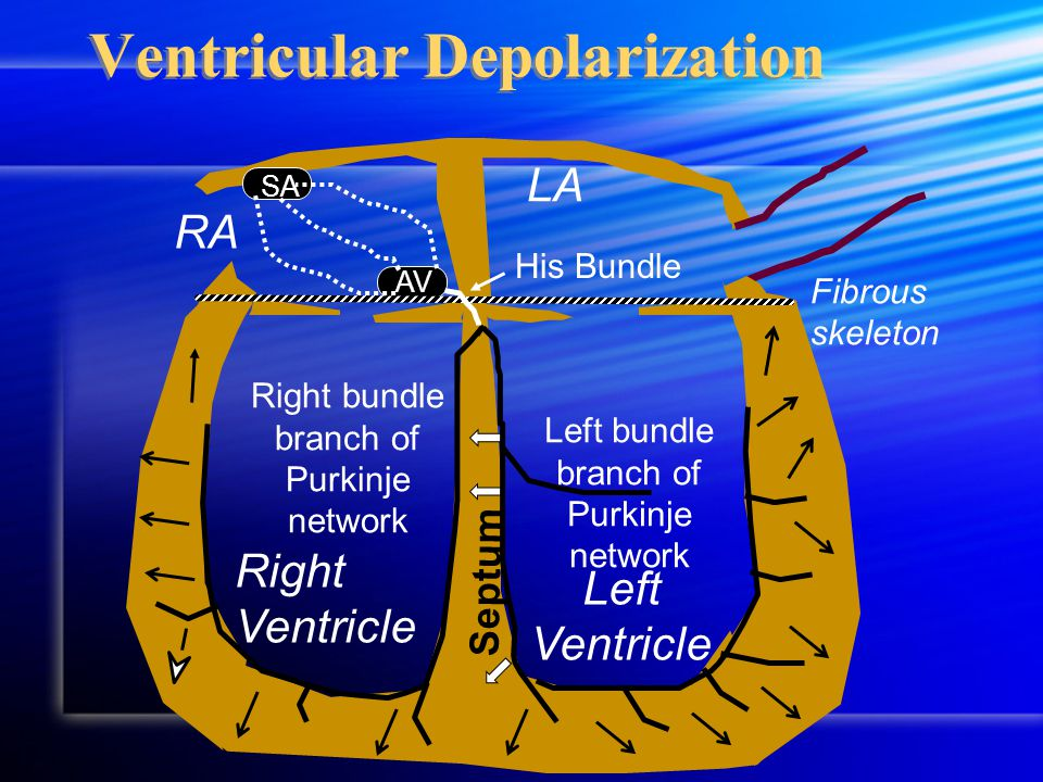 Ventricular Depolarization RA LA Fibrous skeleton Right Ventricle Left Ventricle SA AV His Bundle Septum Left bundle branch of Purkinje network Right bundle branch of Purkinje network