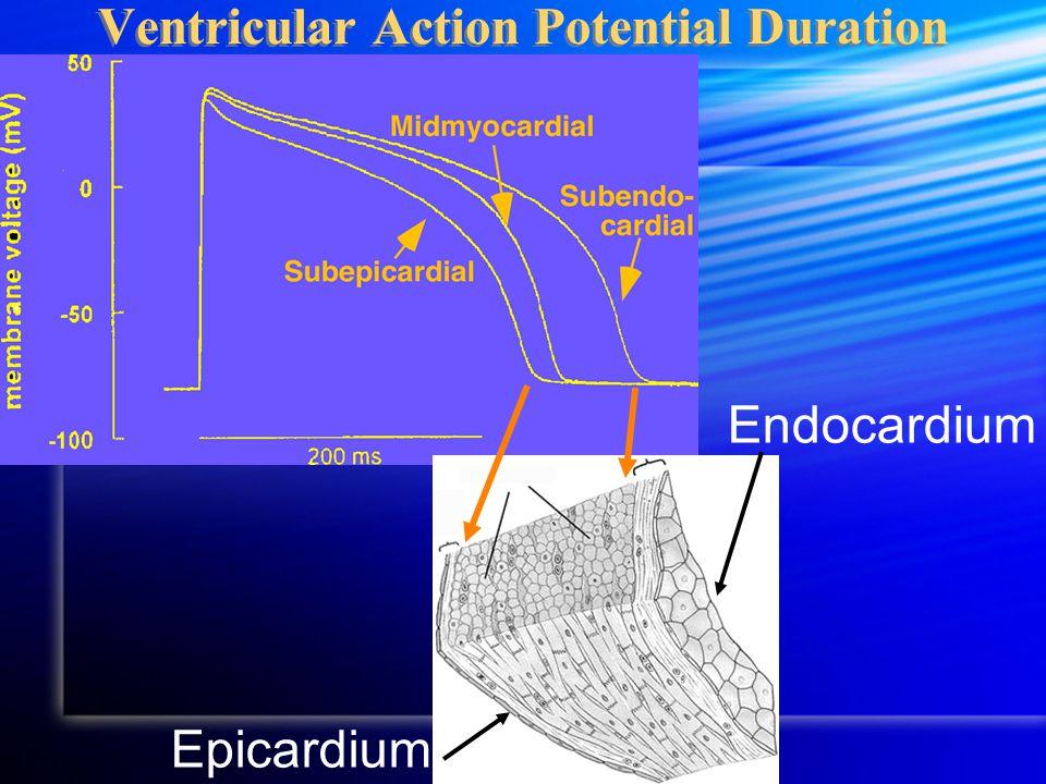 Ventricular Action Potential Duration Epicardium Endocardium