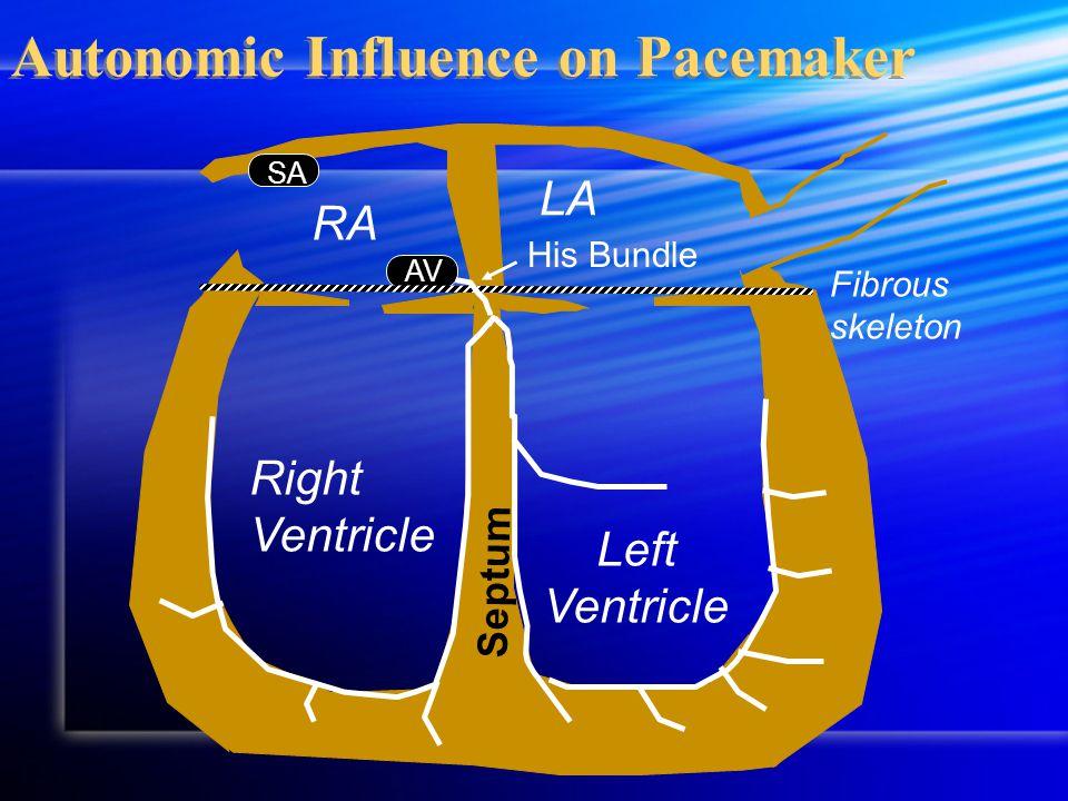 AV Autonomic Influence on Pacemaker Septum RA LA Fibrous skeleton Right Ventricle Left Ventricle His Bundle SA