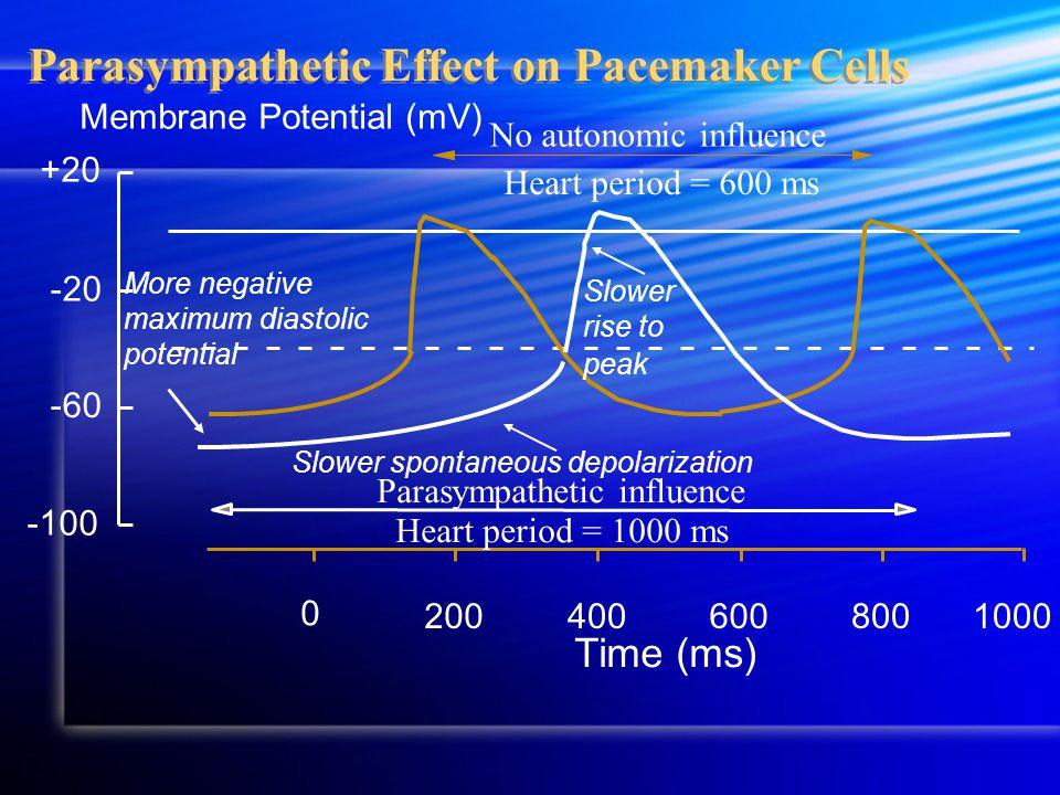 Parasympathetic Effect on Pacemaker Cells Membrane Potential (mV) -100 +20 -60 -20 200800600 0 400 Time (ms) 1000 No autonomic influence Heart period = 600 ms Parasympathetic influence Heart period = 1000 ms Slower rise to peak More negative maximum diastolic potential Slower spontaneous depolarization