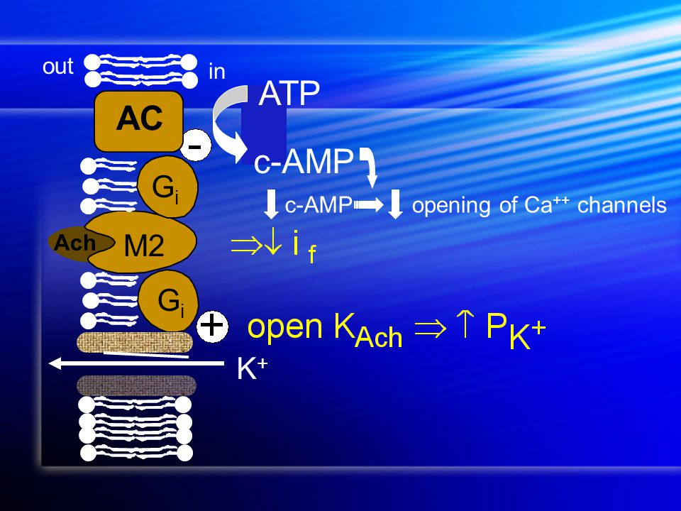 K+K+ Ach ATP c-AMP opening of Ca ++ channelsc-AMP out in GiGi GiGi AC M2