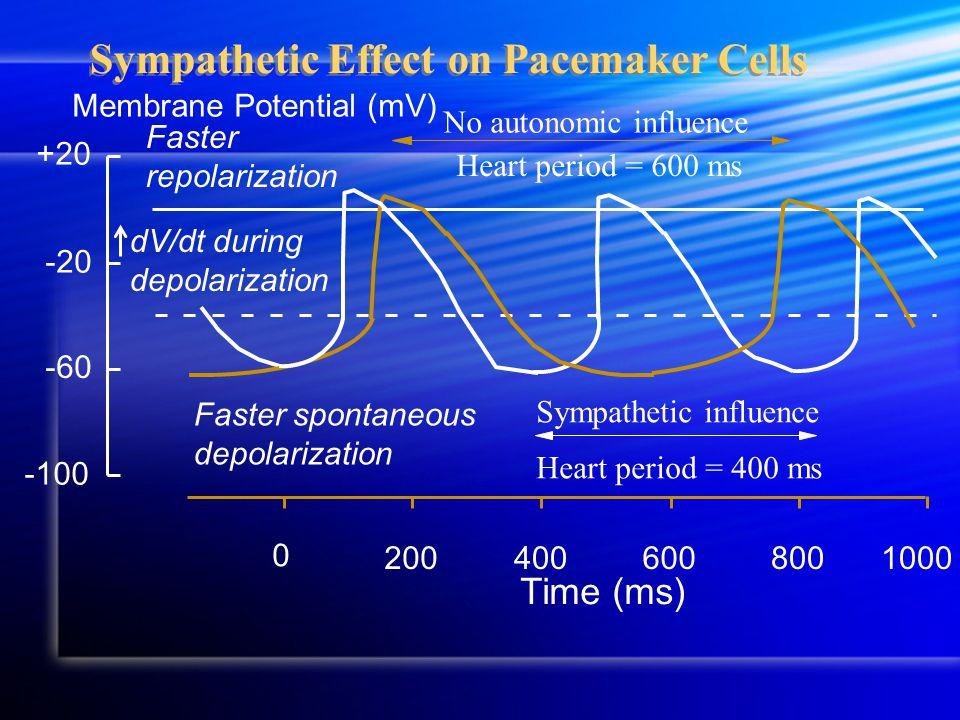 Sympathetic Effect on Pacemaker Cells Membrane Potential (mV) -100 +20 -60 -20 200800600 0 400 Time (ms) 1000 No autonomic influence Heart period = 600 ms Sympathetic influence Heart period = 400 ms Faster spontaneous depolarization dV/dt during depolarization Faster repolarization