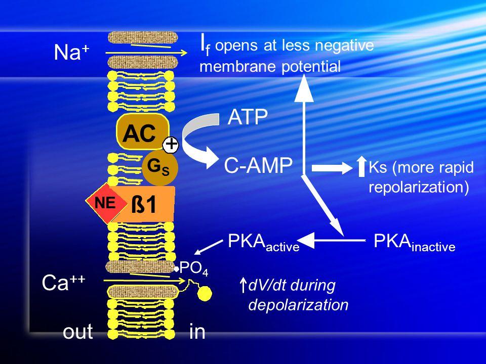 NE C-AMP ATP AC GSGS ß1 outin Na + I f opens at less negative membrane potential Ca ++ PO 4 PKA active PKA inactive Ks (more rapid repolarization) dV/