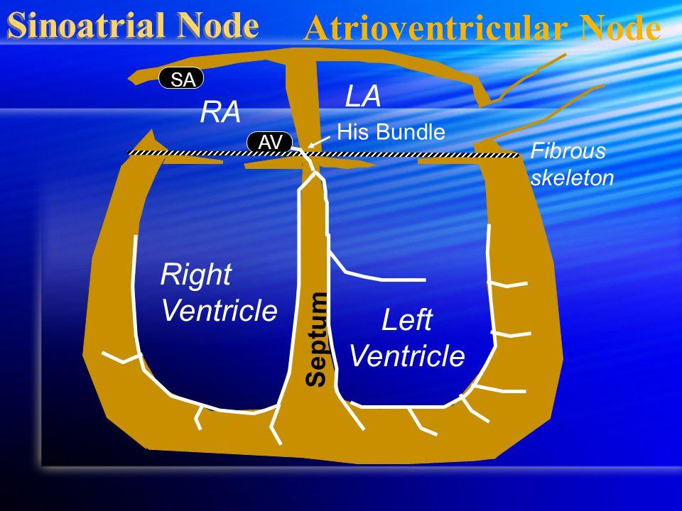 AV Sinoatrial Node Septum RA LA Fibrous skeleton Right Ventricle Left Ventricle His Bundle SA Atrioventricular Node