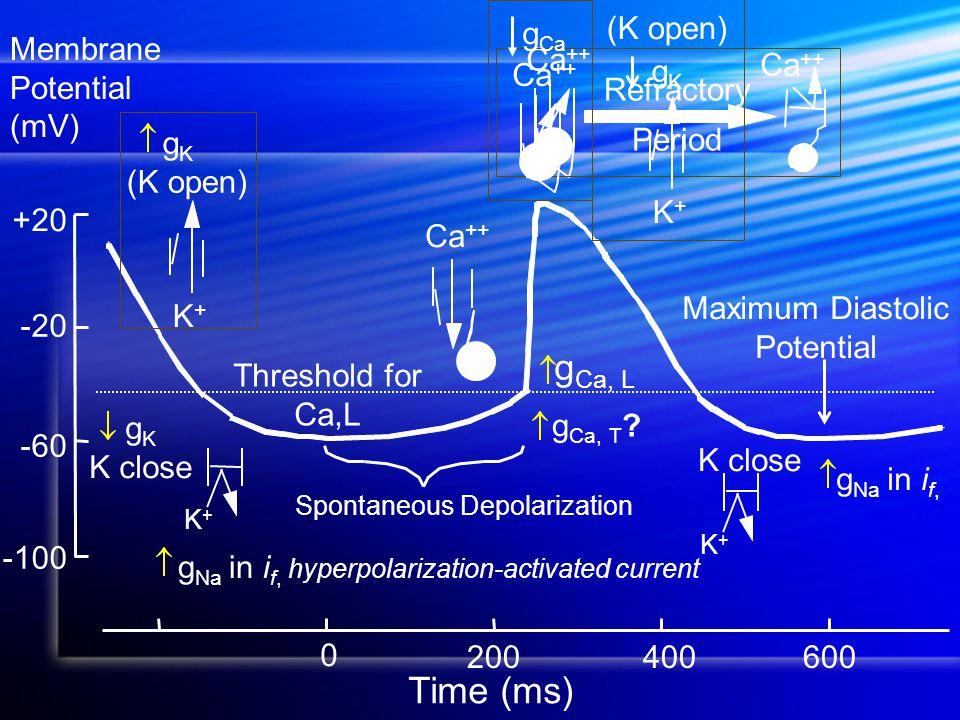 Maximum Diastolic Potential Time (ms) -100 +20 -60 -20 200600 0 400 Membrane Potential (mV) Spontaneous Depolarization Ca ++ Refractory Period g Ca Ca ++ K+K+ g K (K open) K+K+ gKgK g Ca, T .