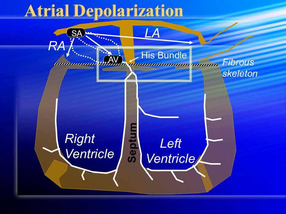 Septum RA LA Fibrous skeleton Right Ventricle Left Ventricle AV Atrial Depolarization His Bundle SA