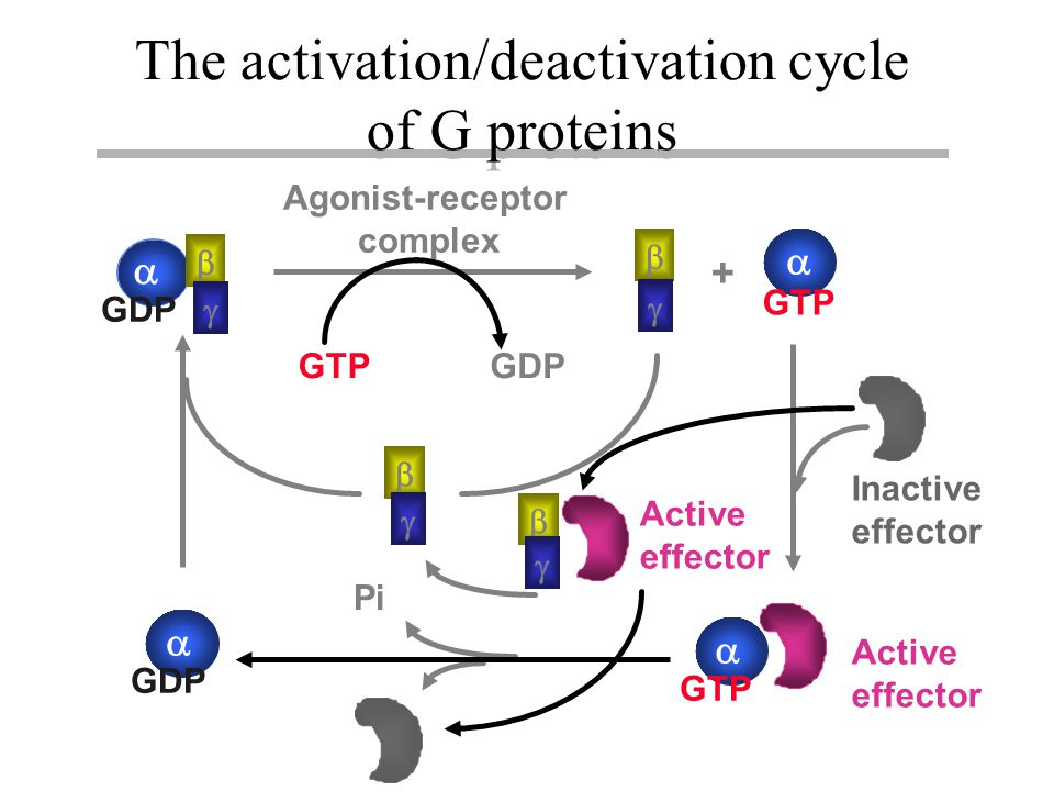    GDP   GTP +   GDP  Inactive effector Active effector Pi GTPGDP Agonist-receptor complex     Active effector The activation/deactivation