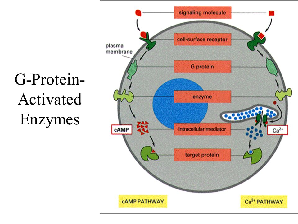 G-Protein- Activated Enzymes
