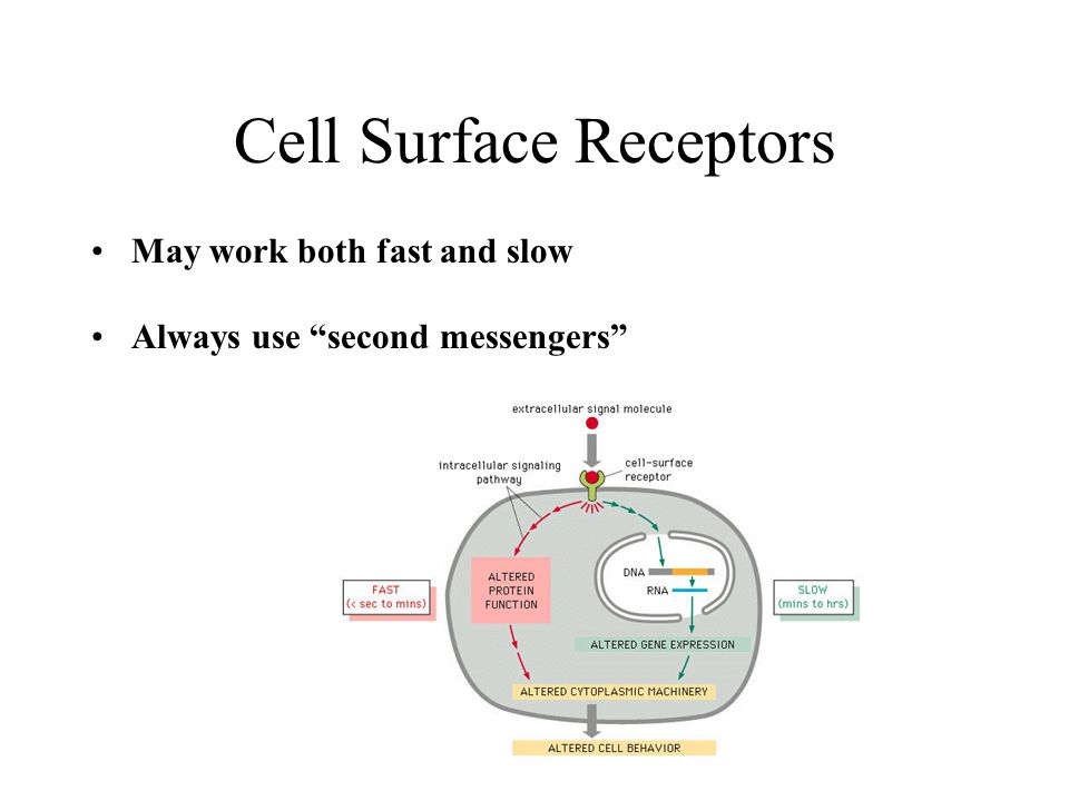 "Cell Surface Receptors May work both fast and slow Always use ""second messengers"""