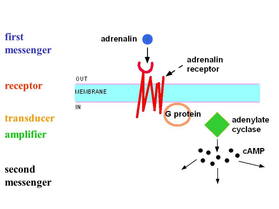 first messenger receptor transducer amplifier second messenger