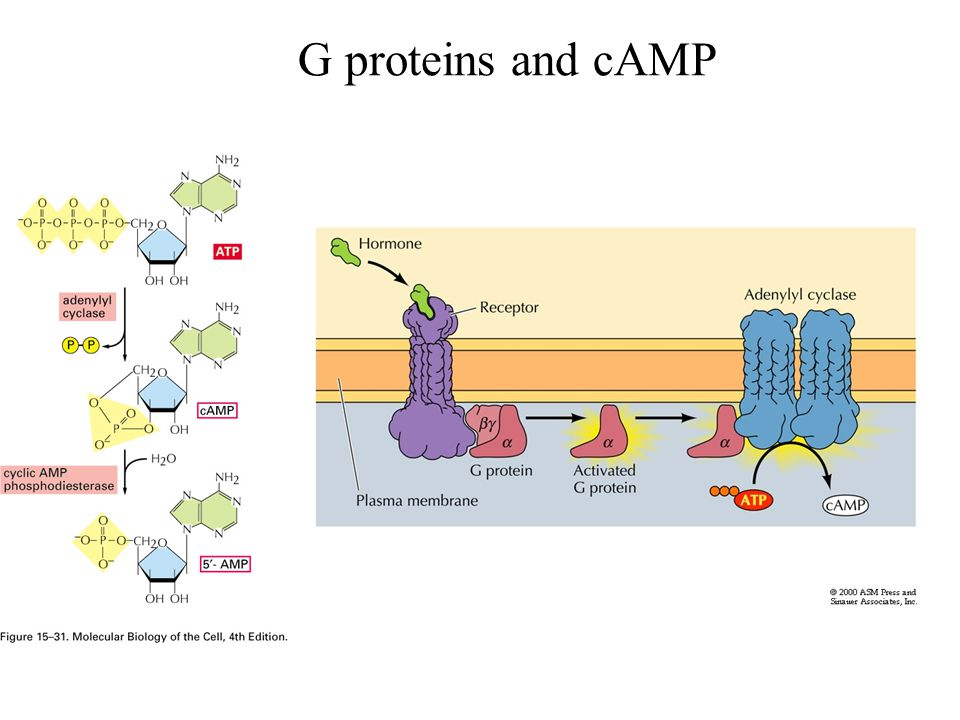 G proteins and cAMP