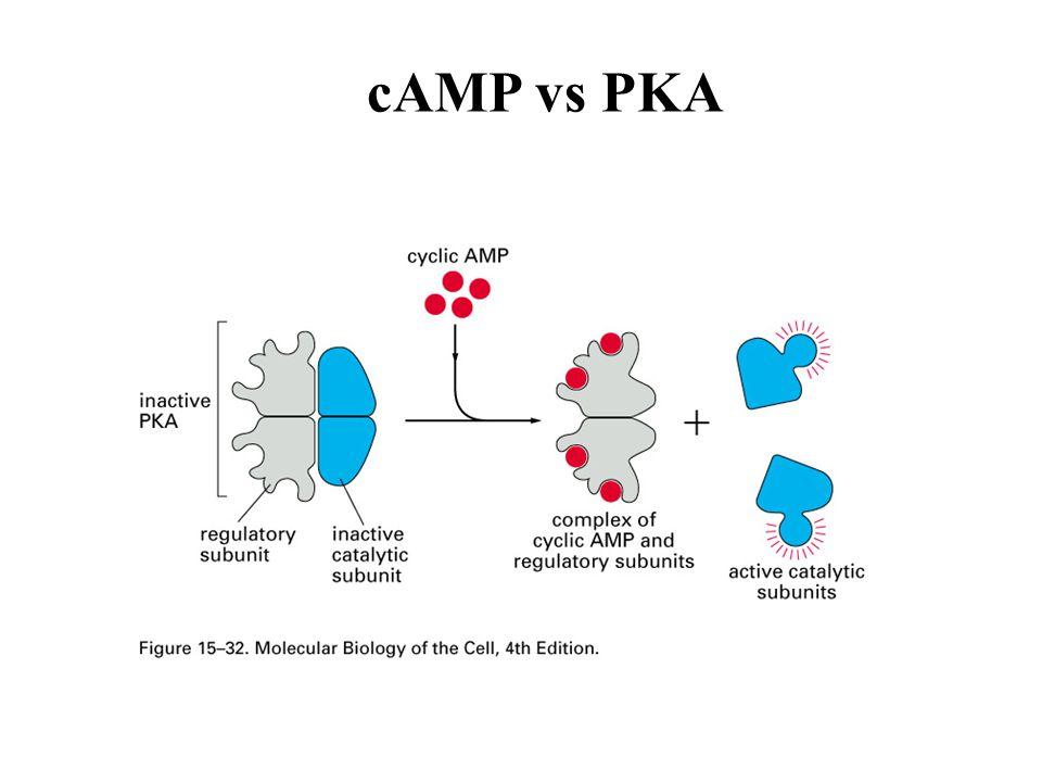 cAMP vs PKA