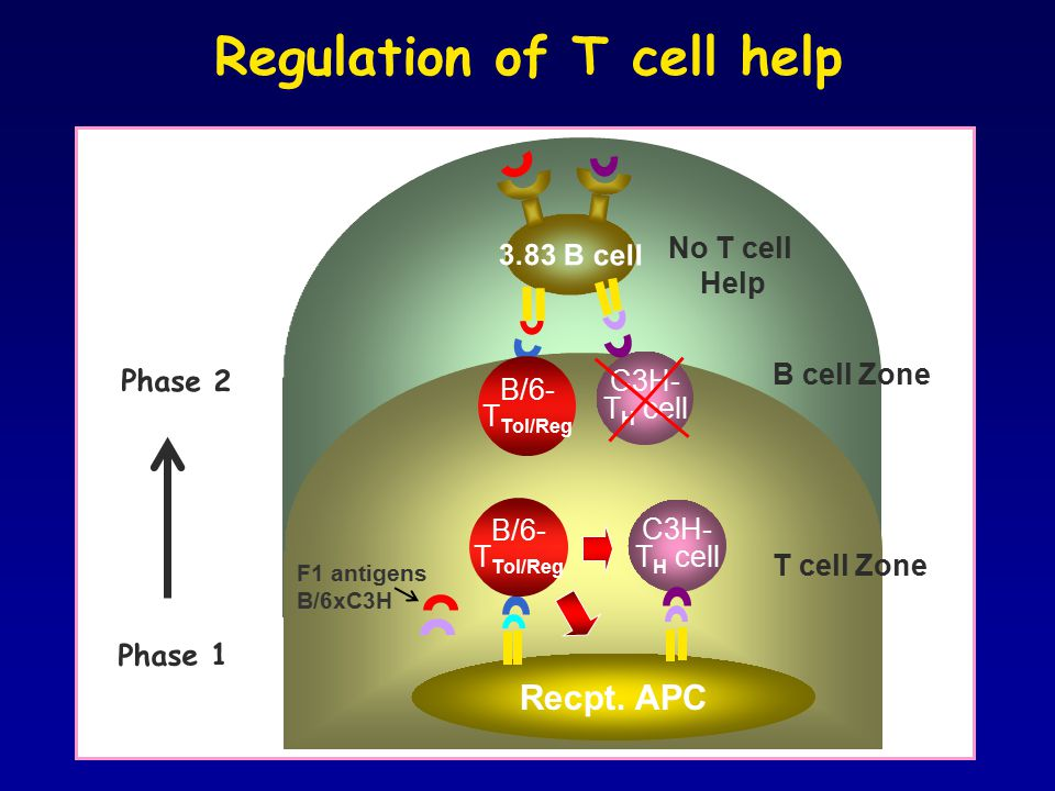 m Regulation of T cell help C3H- T H cell Recpt.