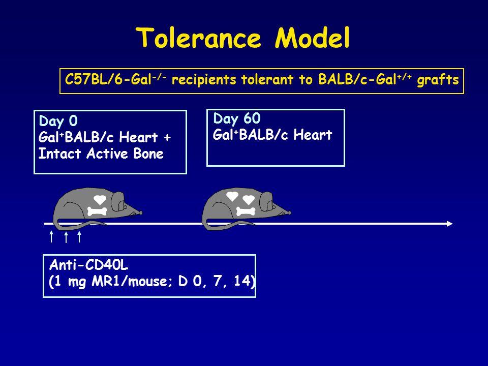 Tolerance Model Day 0 Gal + BALB/c Heart + Intact Active Bone Day 60 Gal + BALB/c Heart Anti-CD40L (1 mg MR1/mouse; D 0, 7, 14) C57BL/6-Gal -/- recipients tolerant to BALB/c-Gal +/+ grafts