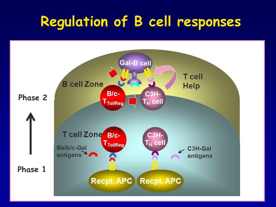 m Regulation of B cell responses C3H- T H cell Recpt. APC Balb/c-Gal antigens T cell Help B/c- T Tol/Reg C3H-Gal antigens Recpt. APC Gal-B cell B/c- T