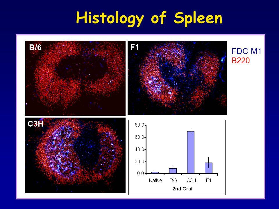 Histology of Spleen B/6 C3H F1 FDC-M1 B220