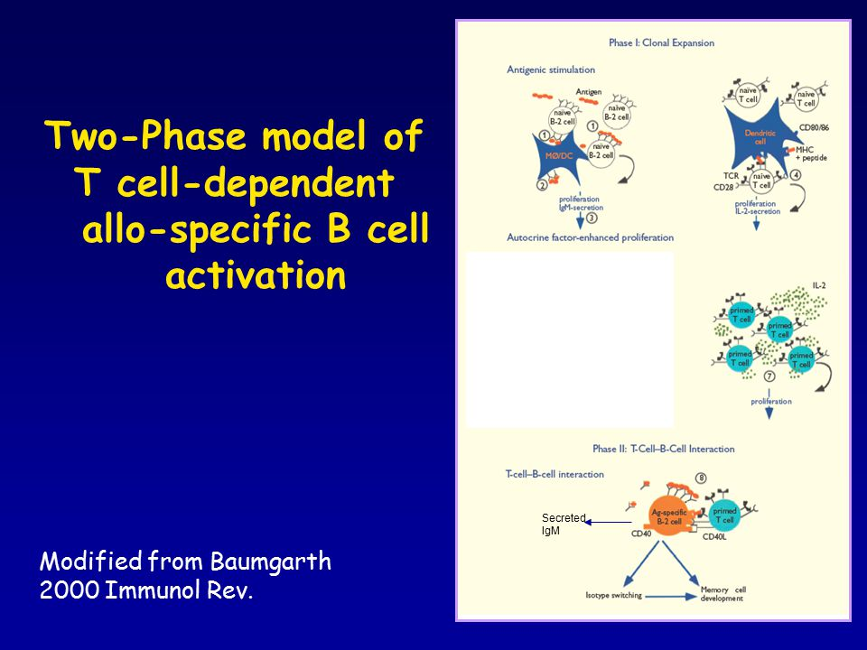 Two-Phase model of T cell-dependent allo-specific B cell activation Modified from Baumgarth 2000 Immunol Rev.