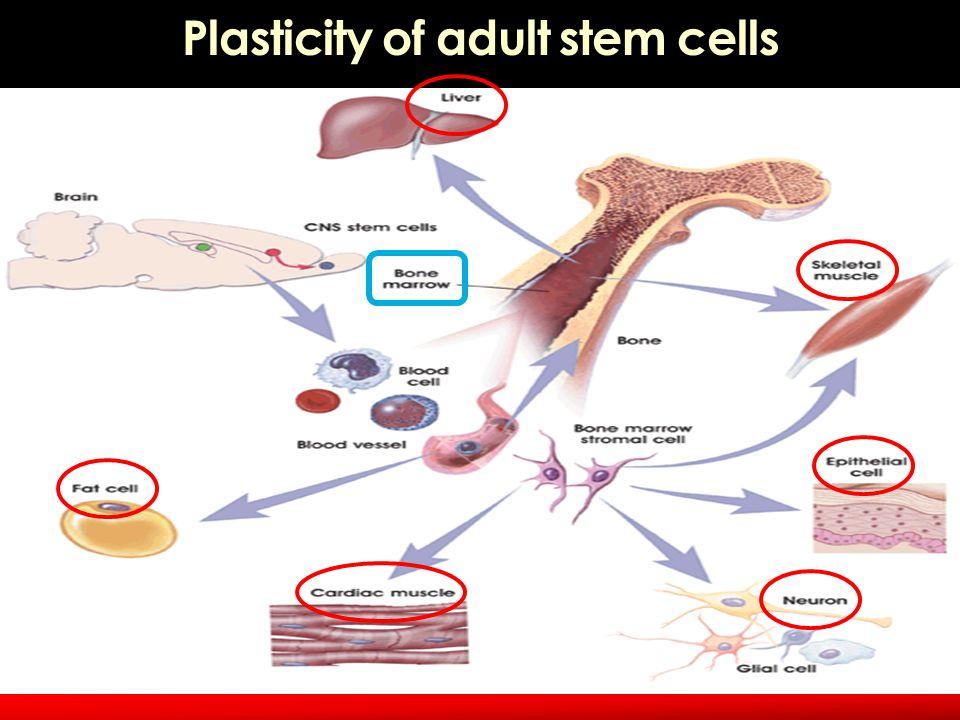 Plasticity of adult stem cells