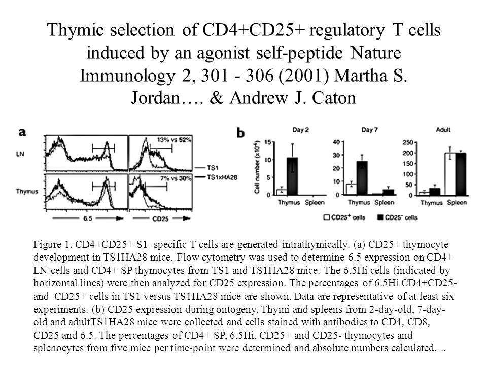 Figure 1. CD4+CD25+ S1–specific T cells are generated intrathymically.