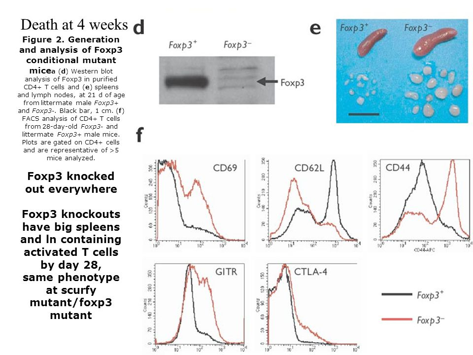 Figure 2. Generation and analysis of Foxp3 conditional mutant mice a (d) Western blot analysis of Foxp3 in purified CD4 + T cells and (e) spleens and