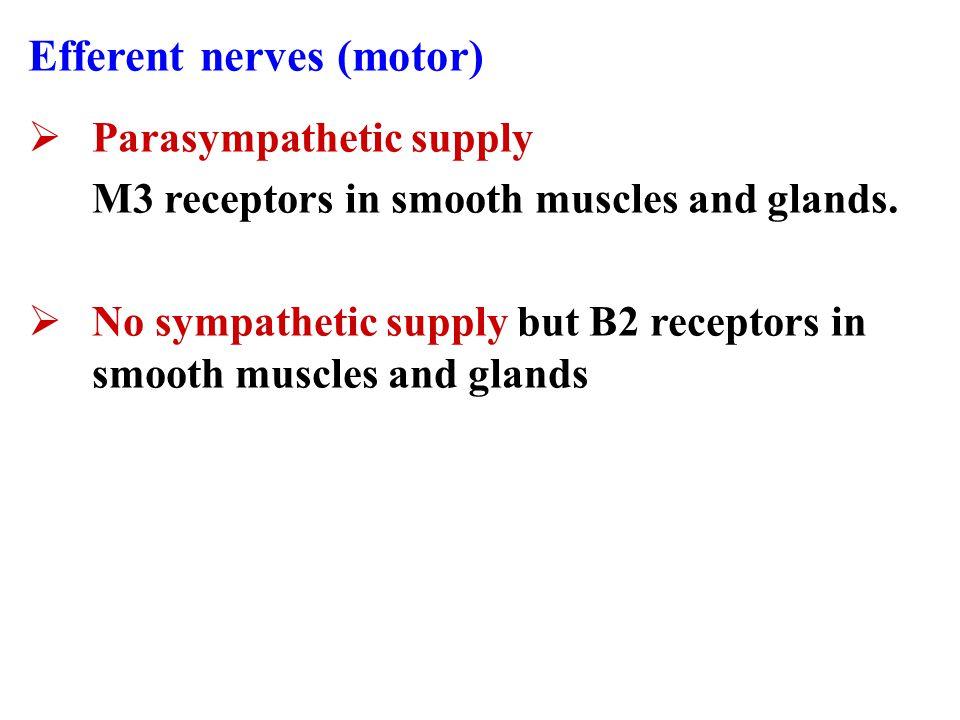 Airways Innervations Afferent nerves (sensory)  Irritant receptors in upper airways.  C-fiber receptors in lower airways. Stimulated by : Exogenous