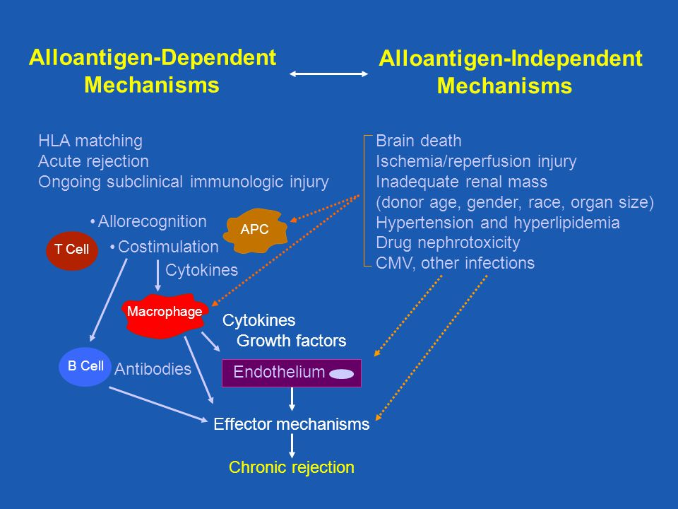 Chronic rejection Effector mechanisms Antibodies Brain death Ischemia/reperfusion injury Inadequate renal mass (donor age, gender, race, organ size) H