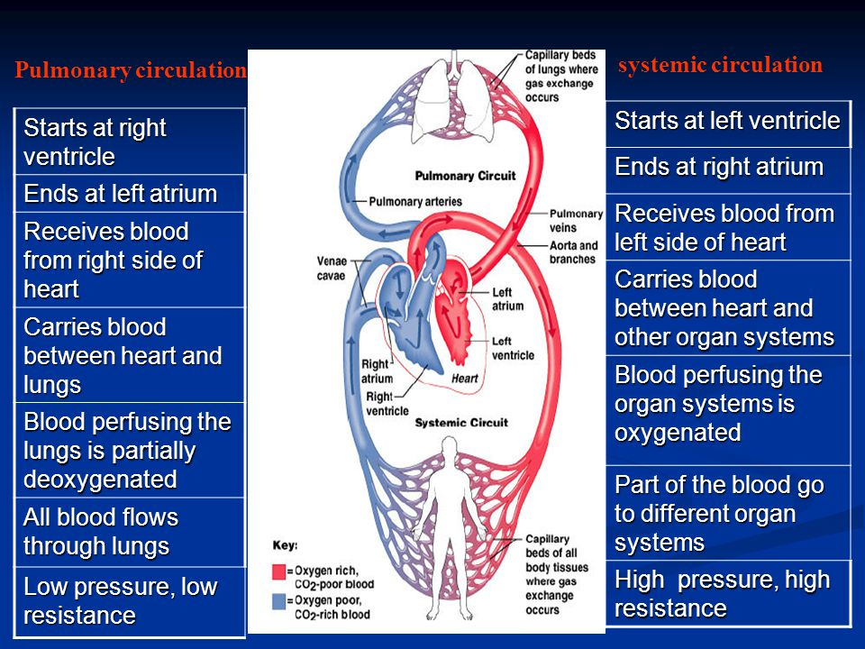 Pulmonary circulation systemic circulation Starts at right ventricle Ends at left atrium Receives blood from right side of heart Carries blood between heart and lungs Blood perfusing the lungs is partially deoxygenated All blood flows through lungs Low pressure, low resistance Starts at left ventricle Ends at right atrium Receives blood from left side of heart Carries blood between heart and other organ systems Blood perfusing the organ systems is oxygenated Part of the blood go to different organ systems High pressure, high resistance