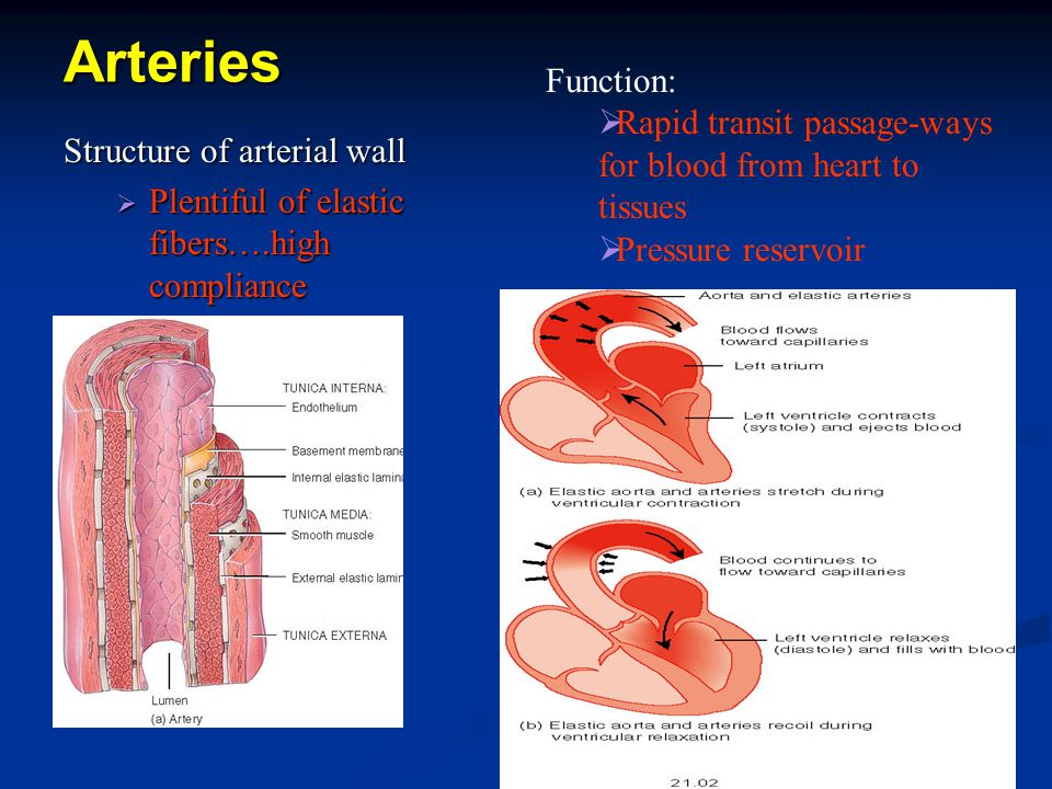 Arteries Structure of arterial wall  Plentiful of elastic fibers….high compliance Function:  Rapid transit passage-ways for blood from heart to tissues  Pressure reservoir