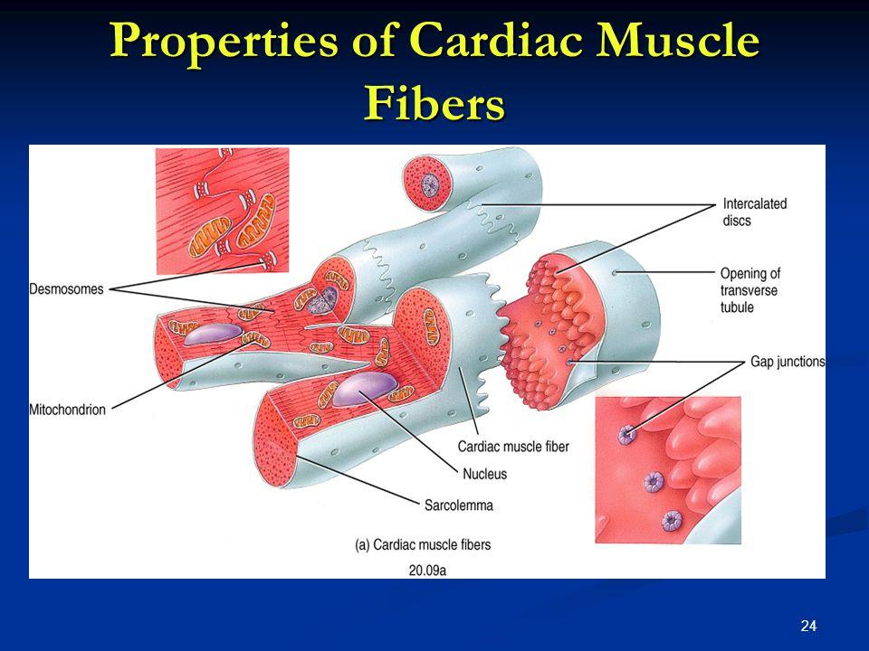 Properties of Cardiac Muscle Fibers 24