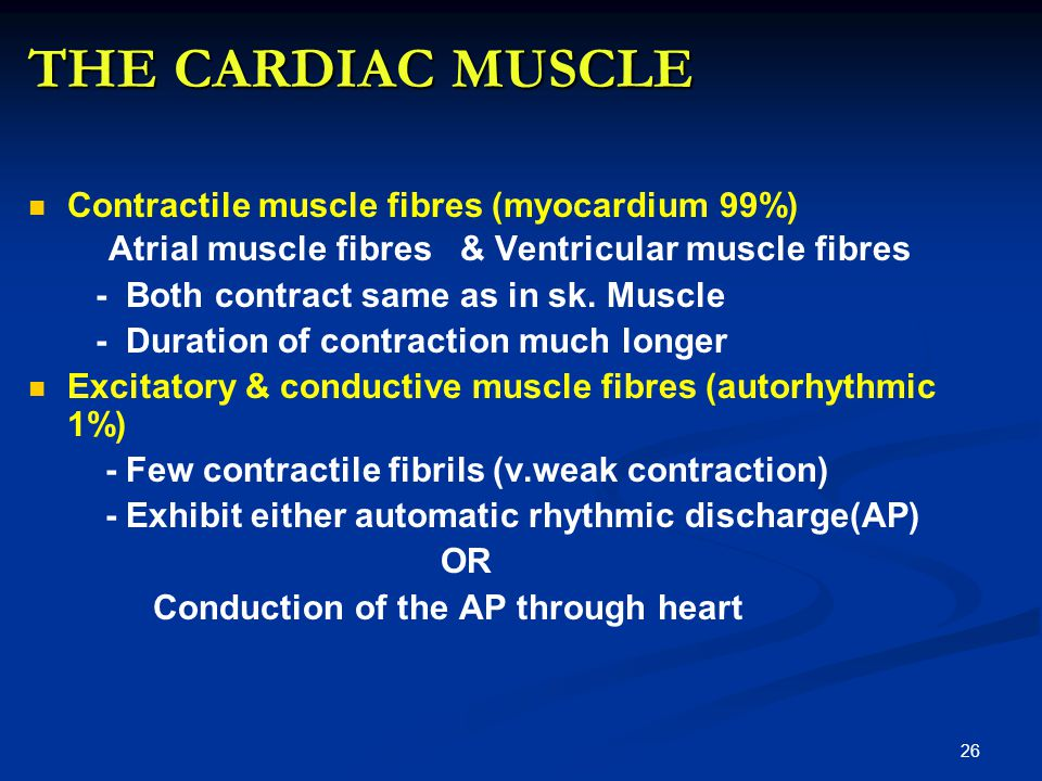 THE CARDIAC MUSCLE Contractile muscle fibres (myocardium 99%) Atrial muscle fibres & Ventricular muscle fibres - Both contract same as in sk.