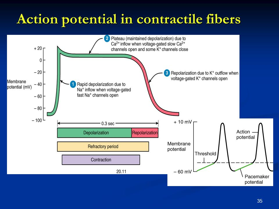Action potential in contractile fibers 35