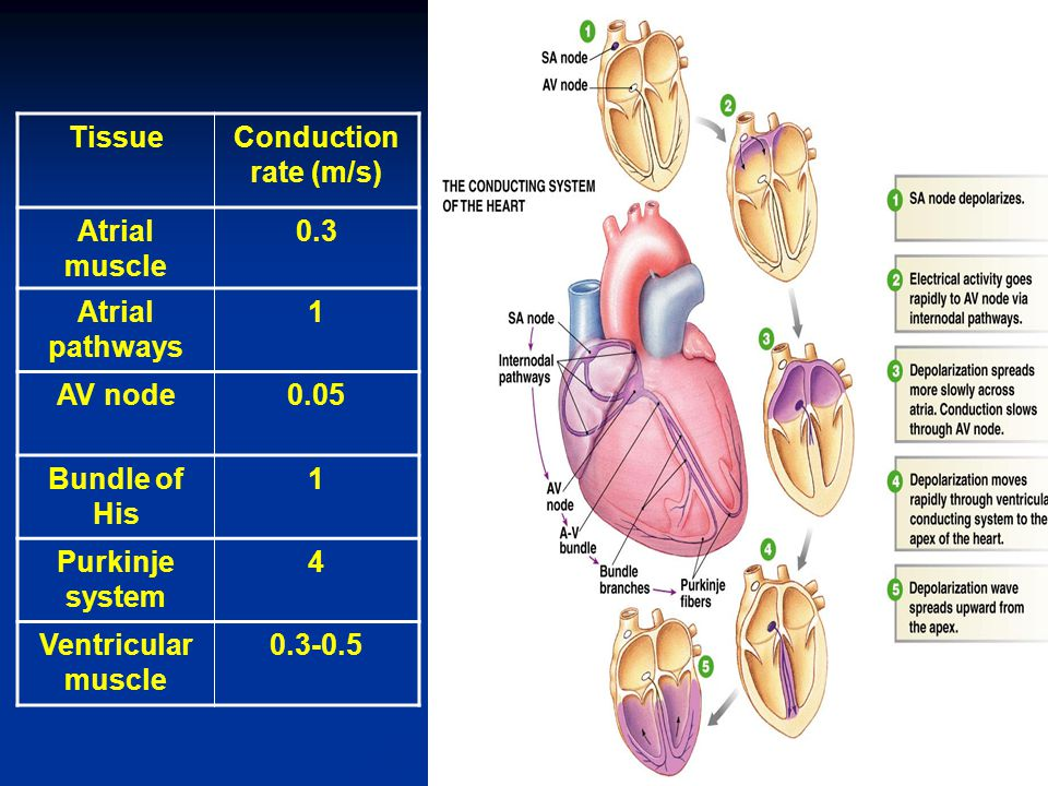TissueConduction rate (m/s) Atrial muscle 0.3 Atrial pathways 1 AV node0.05 Bundle of His 1 Purkinje system 4 Ventricular muscle 0.3-0.5 41