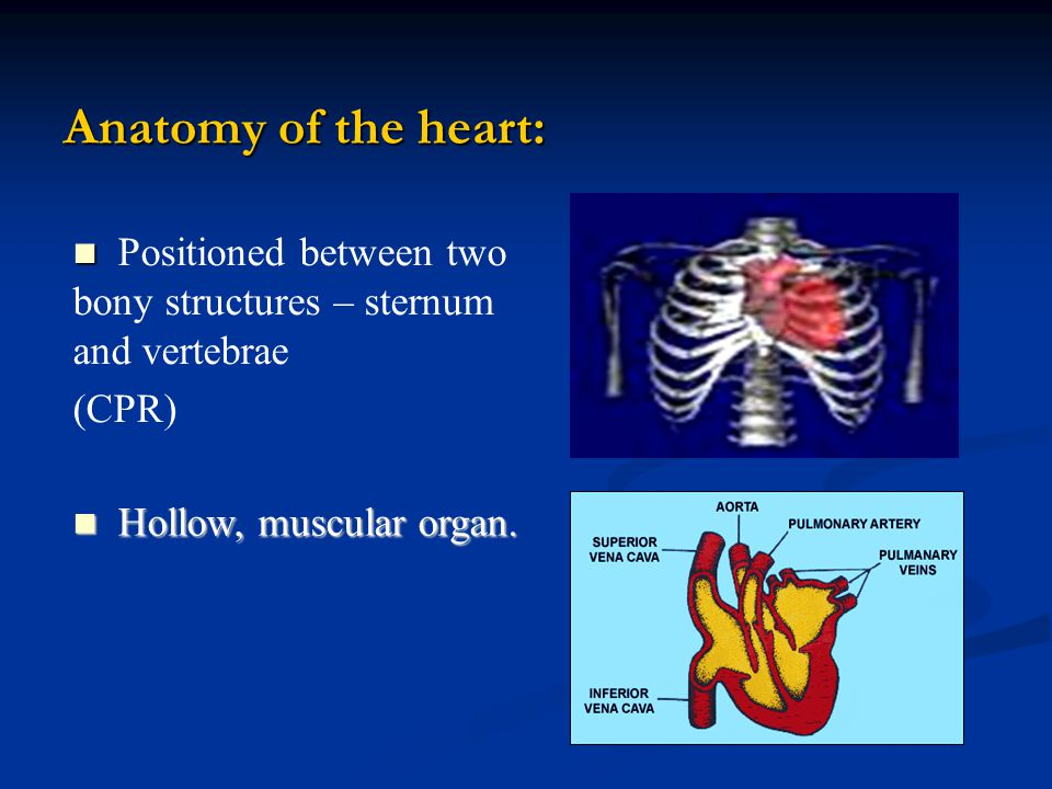 Anatomy of the heart: Positioned between two bony structures – sternum and vertebrae (CPR) Hollow, muscular organ.