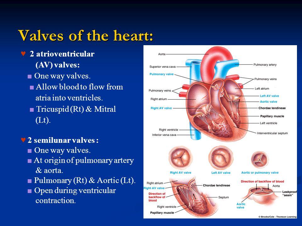 Valves of the heart: ♥ 2 atrioventricular (AV) valves: ■ One way valves.
