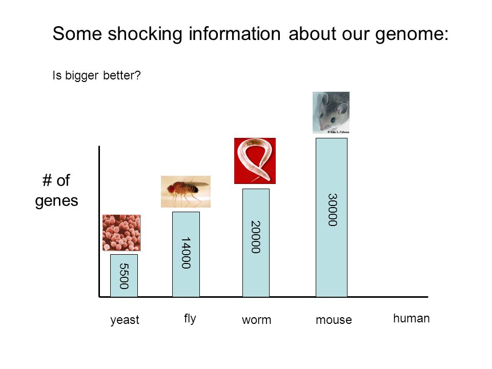Some shocking information about our genome: Is bigger better? # of genes yeast fly wormmouse human 5500 14000 20000 30000