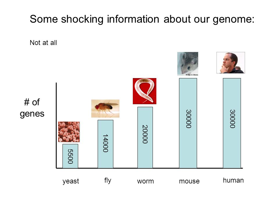 Some shocking information about our genome: Not at all # of genes yeast fly wormmouse human 5500 14000 20000 30000