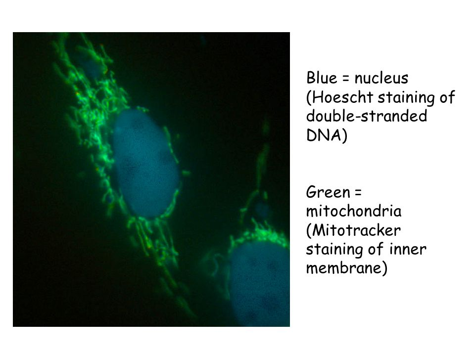 Blue = nucleus (Hoescht staining of double-stranded DNA) Green = mitochondria (Mitotracker staining of inner membrane)