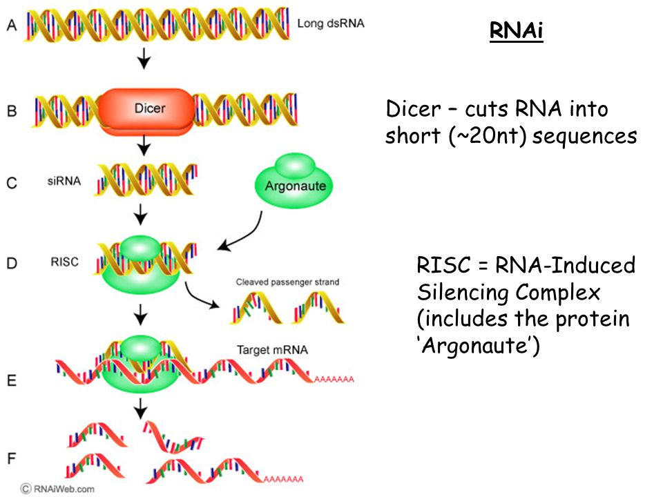RNAi RISC = RNA-Induced Silencing Complex (includes the protein 'Argonaute') Dicer – cuts RNA into short (~20nt) sequences