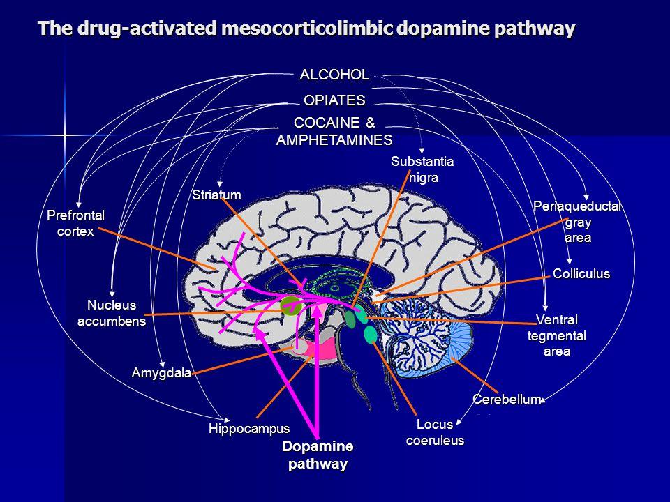 Prefrontalcortex Nucleusaccumbens Substantia nigra Hippocampus Locus coeruleus Cerebellum Ventral tegmental area Colliculus Periaqueductal gray gray area area ALCOHOL OPIATES COCAINE & AMPHETAMINES Striatum Dopamine pathway Amygdala The drug-activated mesocorticolimbic dopamine pathway