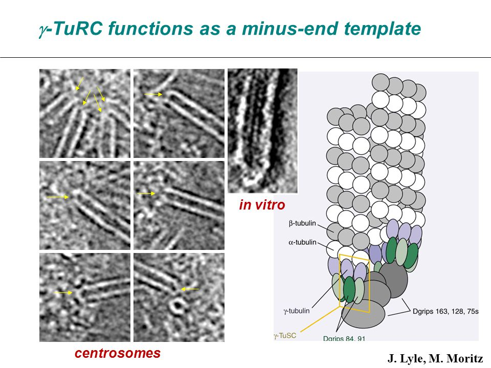  -TuRC functions as a minus-end template J. Lyle, M. Moritz centrosomes in vitro