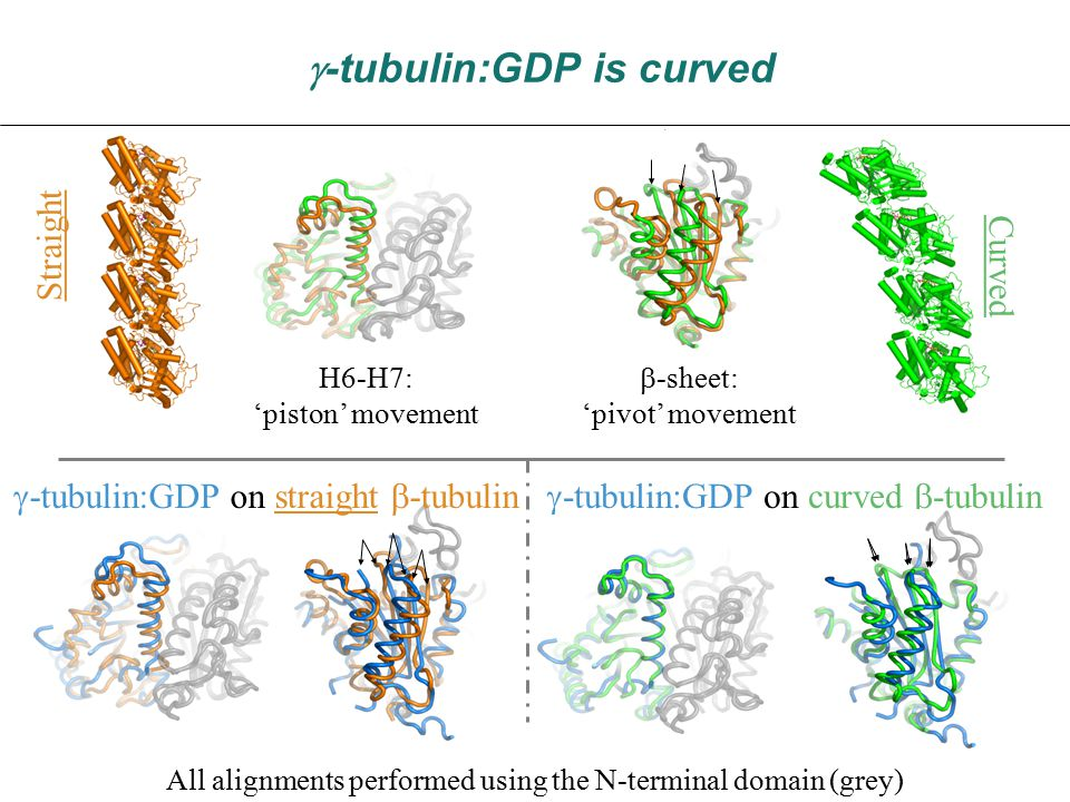  -tubulin:GDP is curved Straight Curved H6-H7: 'piston' movement  -sheet: 'pivot' movement All alignments performed using the N-terminal domain (grey)  -tubulin:GDP on curved  -tubulin  -tubulin:GDP on straight  -tubulin