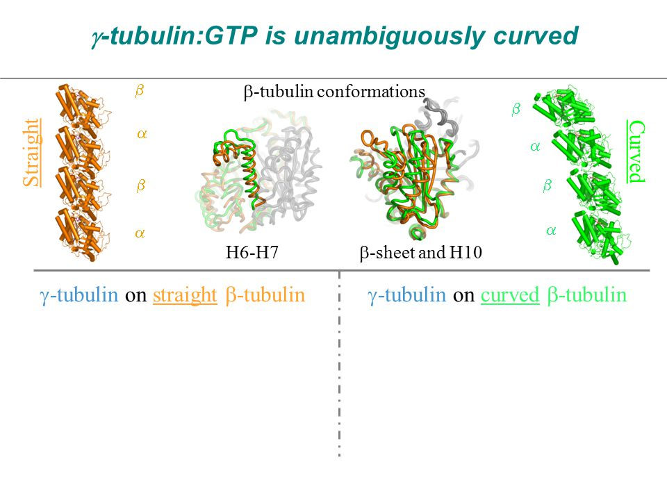 Straight Curved H6-H7  -sheet and H10  -tubulin:GTP is unambiguously curved  -tubulin conformations          -tubulin on straight  -tubulin  -tubulin on curved  -tubulin