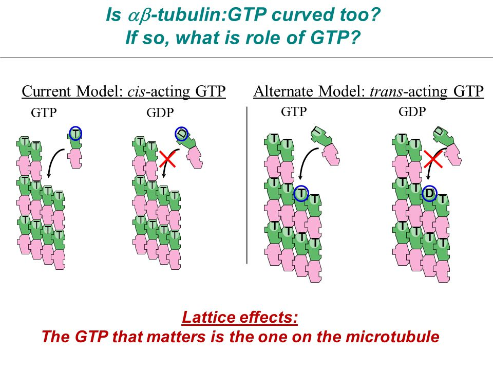 Is  -tubulin:GTP curved too. If so, what is role of GTP.