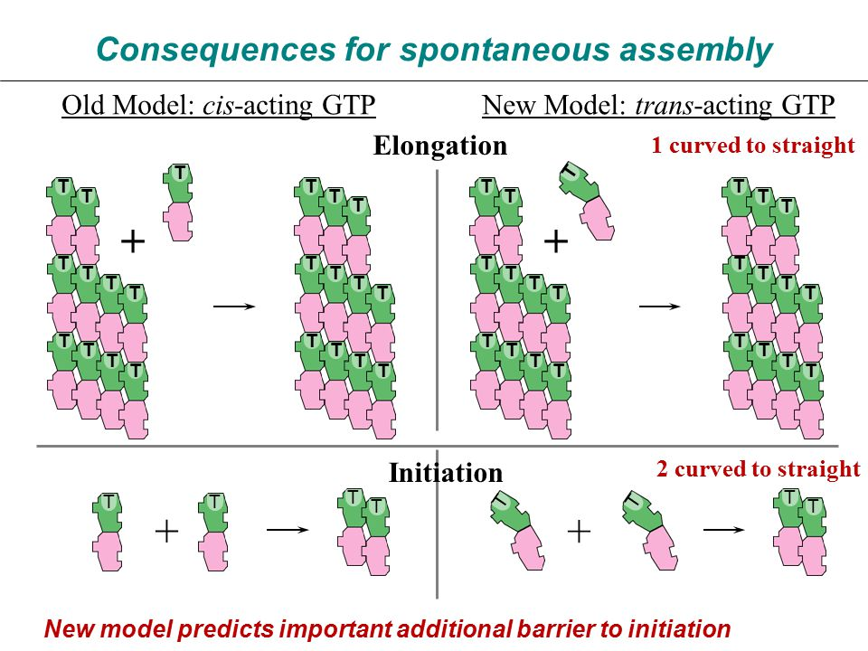 Consequences for spontaneous assembly Old Model: cis-acting GTPNew Model: trans-acting GTP TT T T TT T T + + Initiation 2 curved to straight T T T T T T T T T T T T T T T T T T T T T T + T T T T T T T T T T T T T T T T T T T T T T + Elongation 1 curved to straight New model predicts important additional barrier to initiation